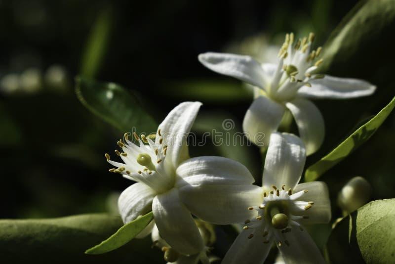 Fruit Flowers Of The Palmer Navel Orange citrus sinensis stock photo
