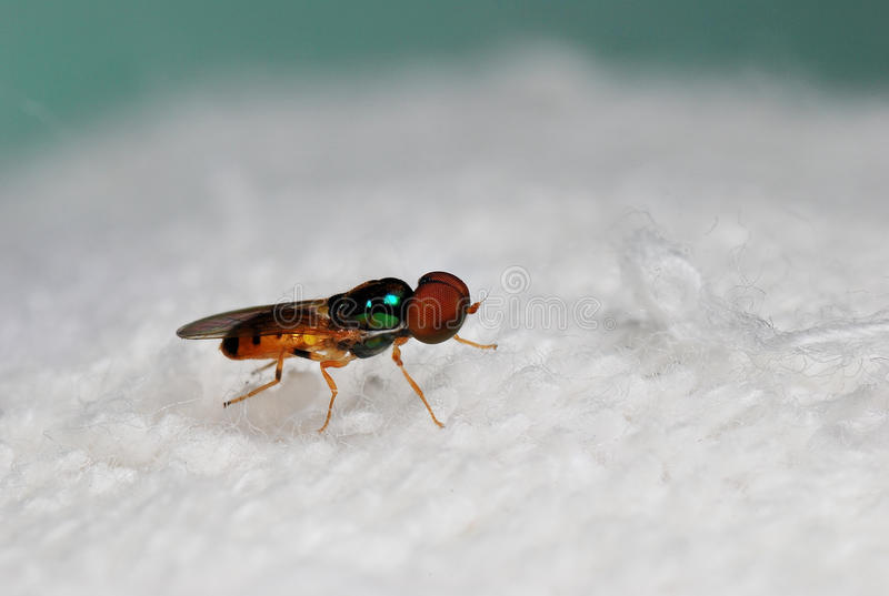 Fruit fly royalty free stock images