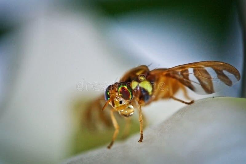 Fruit Fly royalty free stock photos