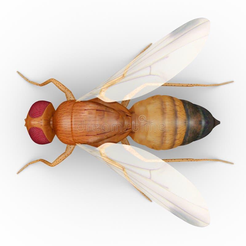 Fruit fly stock illustration. Illustration of melanogaster - 50032834