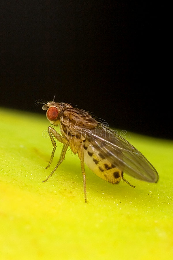 Fruit fly goes banana royalty free stock images