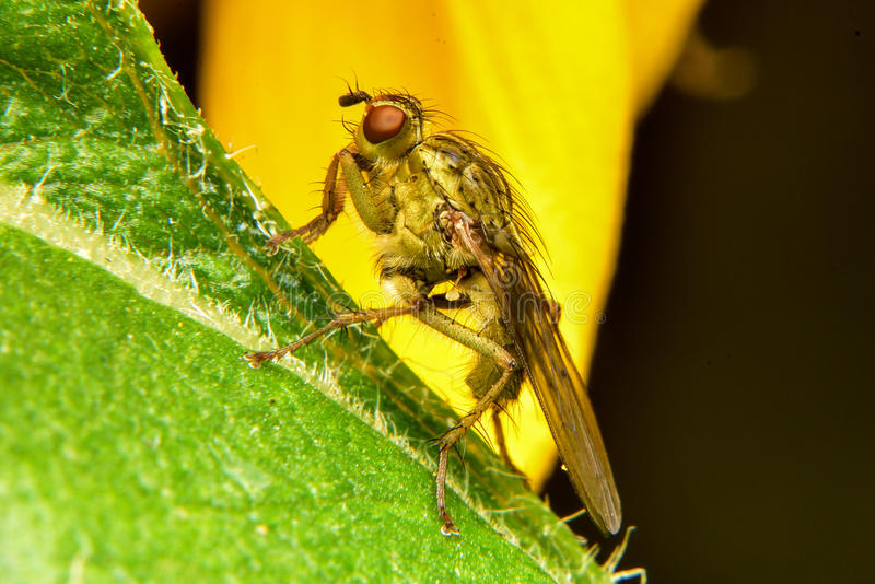 Fruit Fly on Leaf royalty free stock image