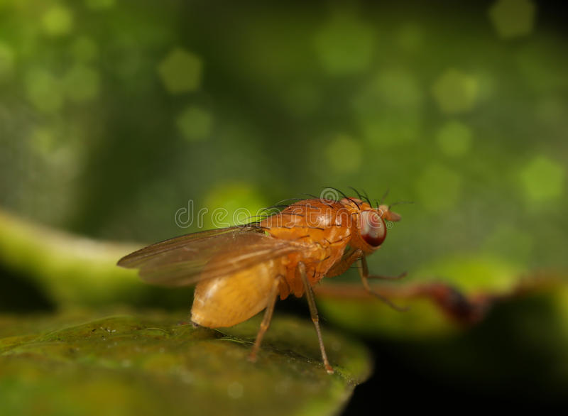 Fruit fly royalty free stock photo