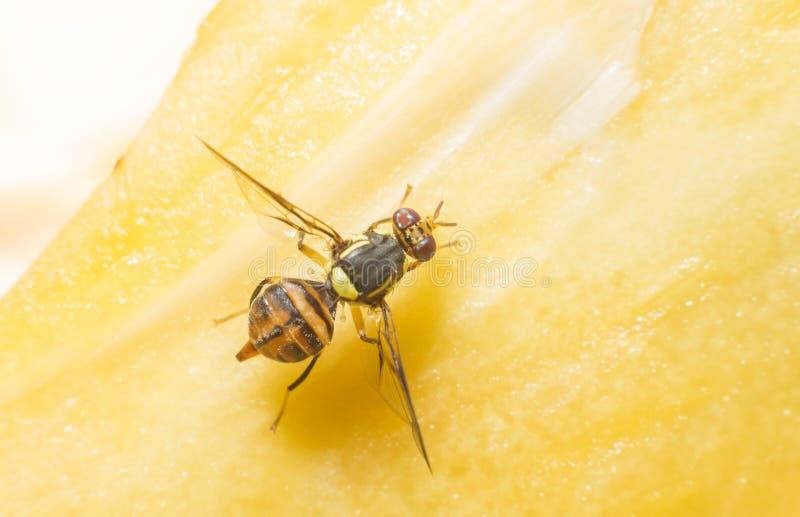 Fruit fly stock photos