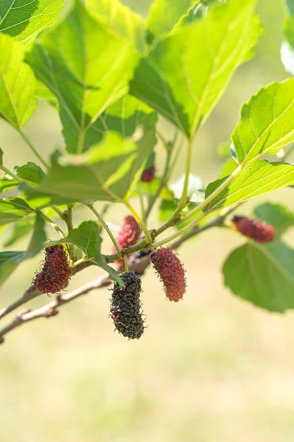 Fruit frais de mûre sur l'arbre en nature photographie stock libre de droits