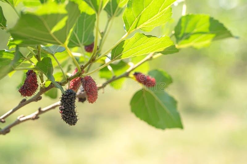 Fruit frais de mûre sur l'arbre en nature image libre de droits
