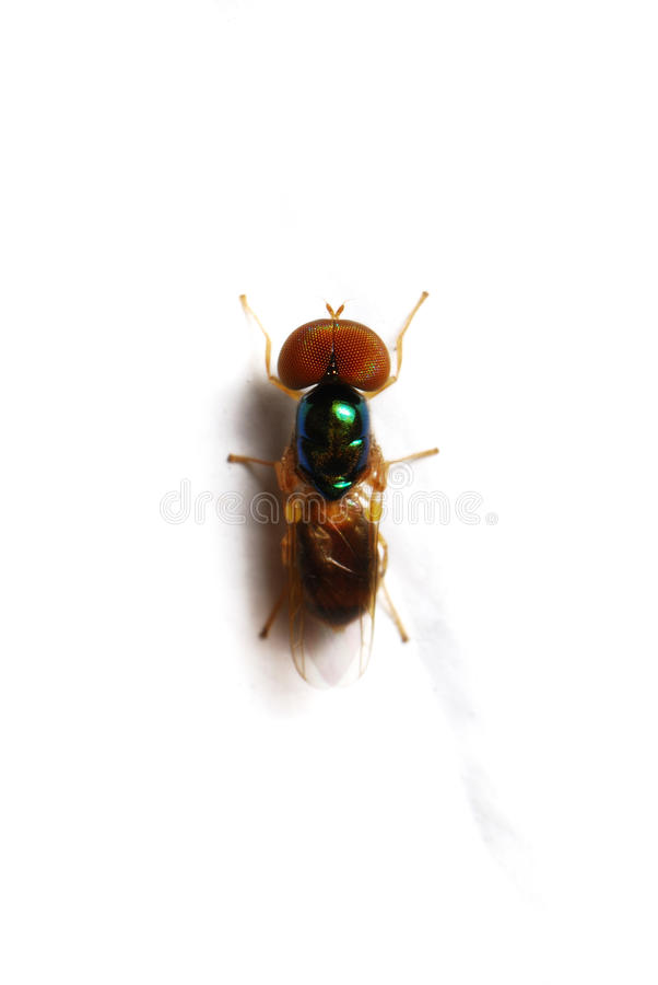 Download Fruit Fly stock image. Image of isolated, fine, antenna - 15208579