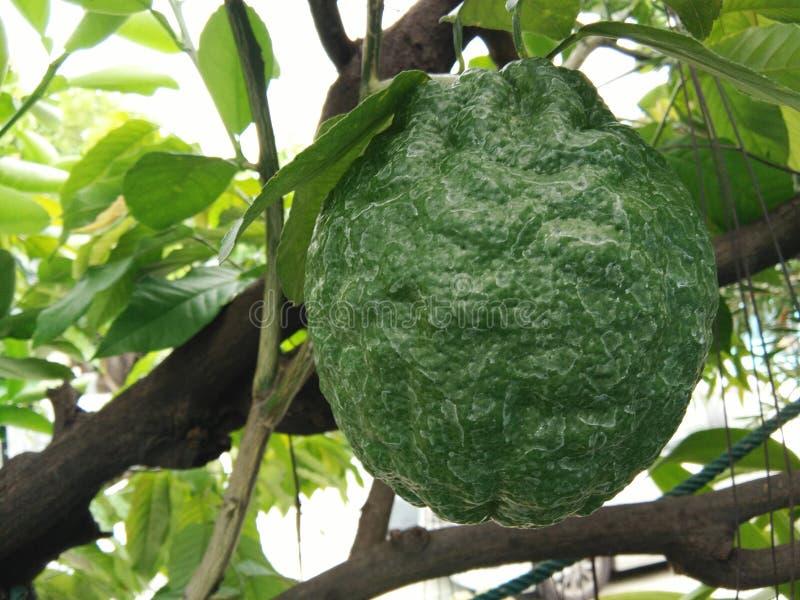 Fruit géant de citron de plan rapproché image libre de droits