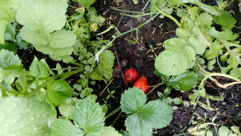 Fruit heureux de jardin ma fraise de faveur photo stock
