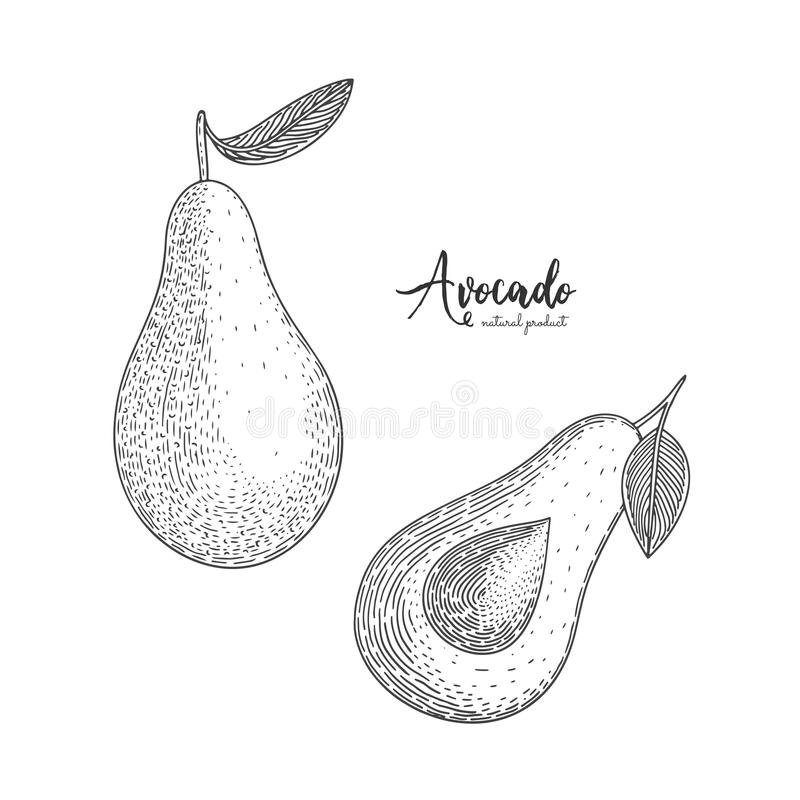 Fruit illustration with avocado in the style of engraving. Detailed vegetarian food. Hand drawn elements for menu vector illustration