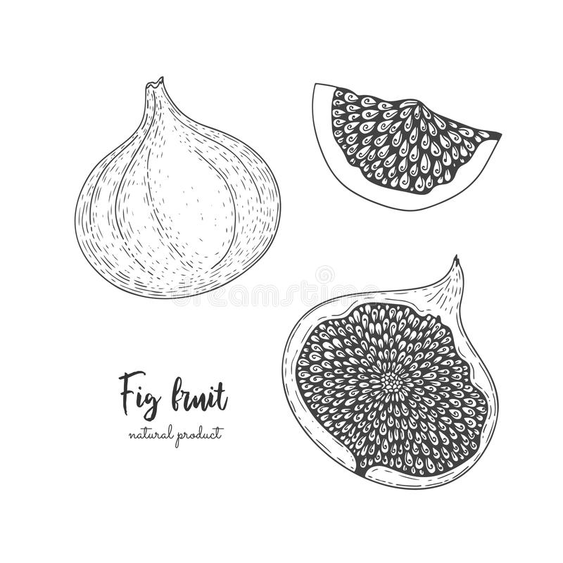 Fruit illustration with figs in the style of engraving. Detailed vegetarian food. Hand drawn elements for menu, greeting vector illustration