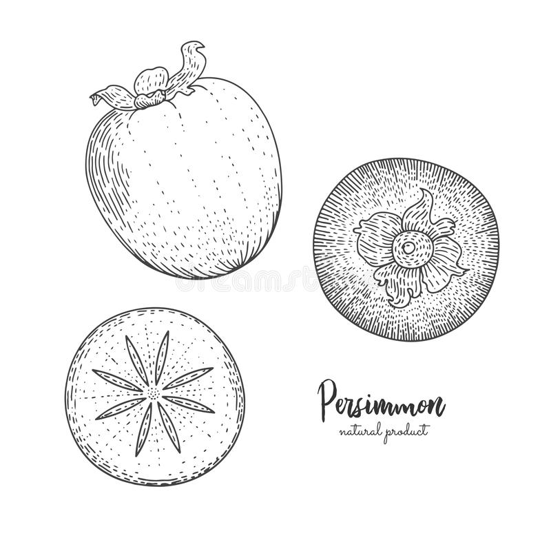Fruit illustration with persimmon in the style of engraving. Detailed vegetarian food. Hand drawn elements for menu stock illustration