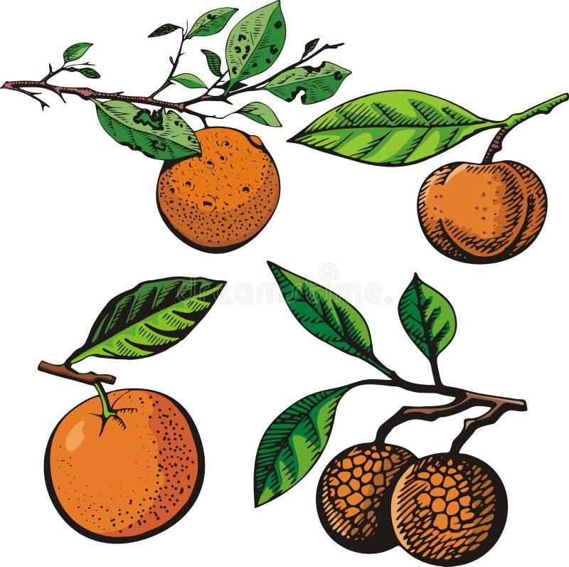 Fruit illustration series royalty free illustration