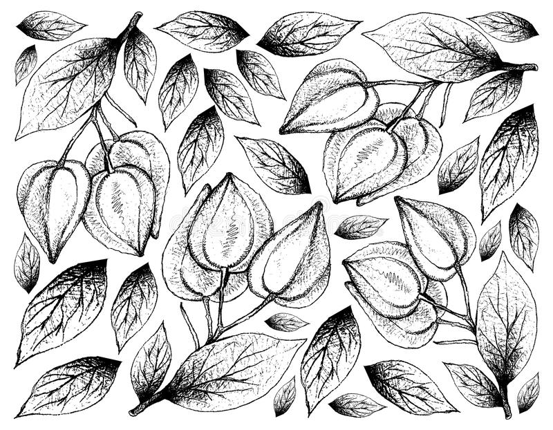 fruit illustration wallpaper background hand drawn sketch fresh belimbing merah belimbing hutan baccaurea angulata fruits 114475957