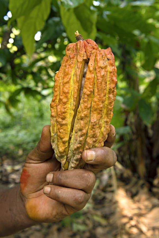 Fruit jaune-orange de cacao, cosse fraîche de cacao dans des mains avec du cacao image stock