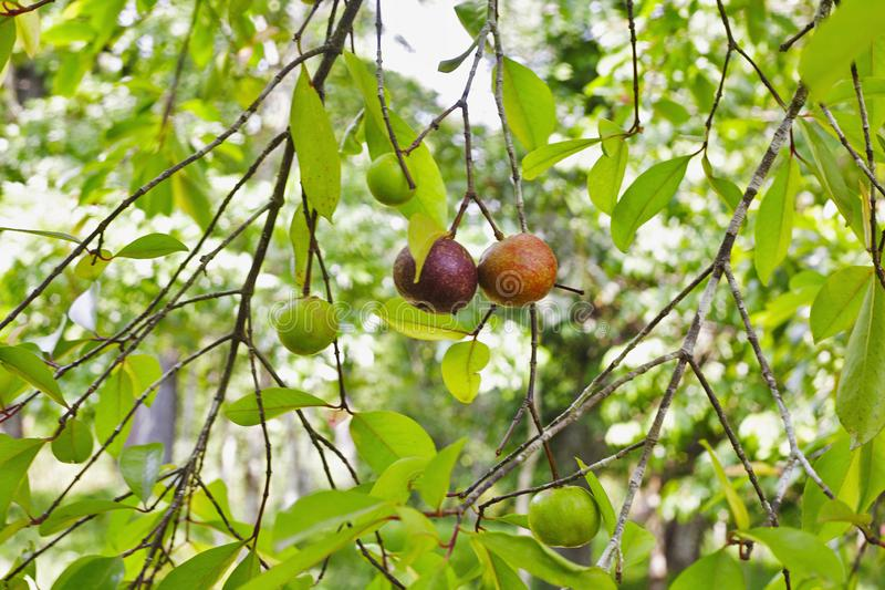 Fruit local de kokum sur un Garcinia d'arbre indica, Goa, Inde images stock