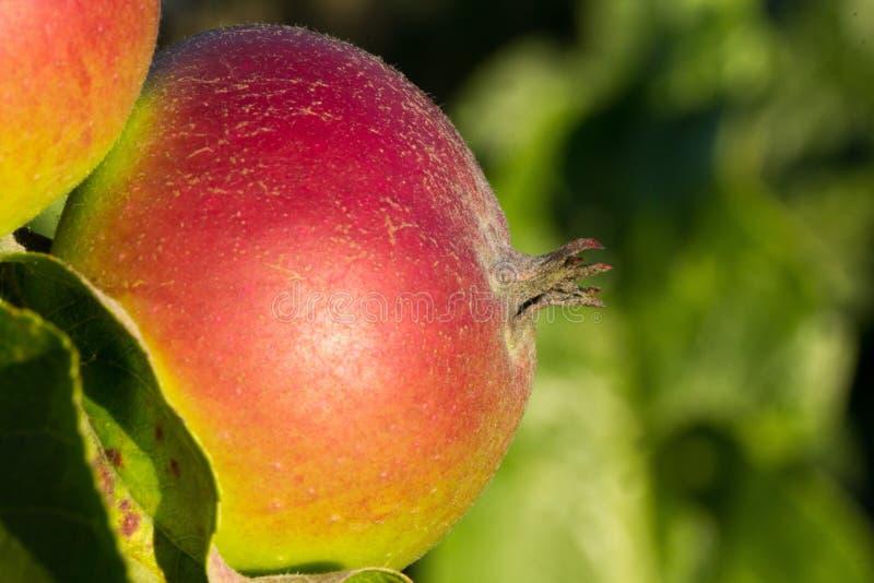 Fruit, Local Food, Close Up, Apple stock photo