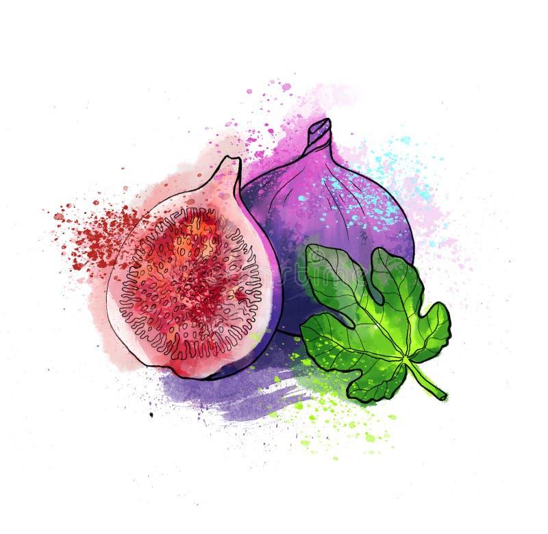 Fruit lumineux coloré tiré par la main de figue avec la feuille Aquarelles, whi illustration libre de droits