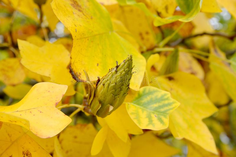 Fruit of lyriodendron tulip tree Liriodendron tulipifera L. against the background of yellow leaves.  royalty free stock photos