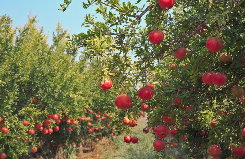 Fruit mûr de grenade sur la branche d'arbre photographie stock libre de droits
