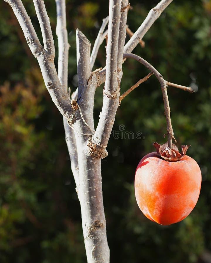 Fruit m?r de kaki, sur la branche photo libre de droits