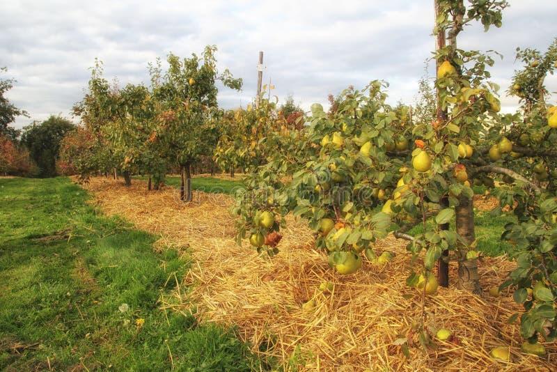 Fruit mûr de poire sur des arbres au soleil de chute d'automne image stock