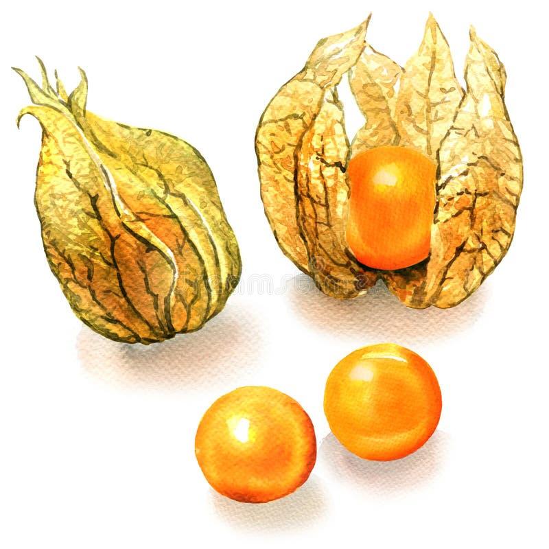 Fruit mûr de physalis d'isolement sur le fond blanc illustration libre de droits