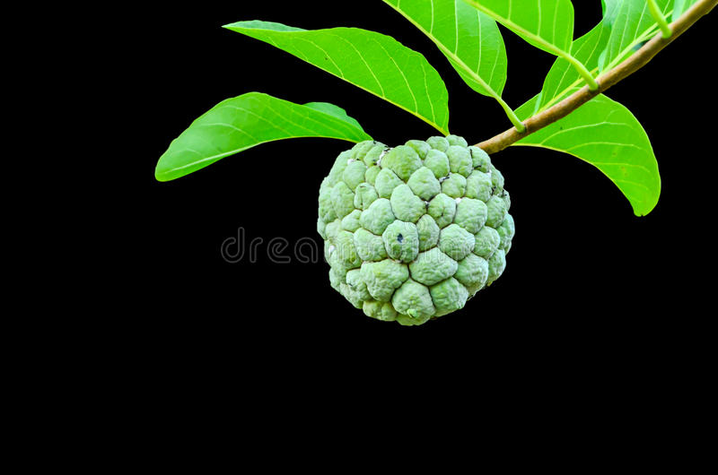 Fruit mûr de Sugar Apple photographie stock