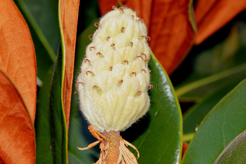 Fruit of Magnolia grandiflora, Southern Magnolia Bull bay. Graceful evergreen tree with leathery leaves, rusty beneath and large fragrant white flowers stock image