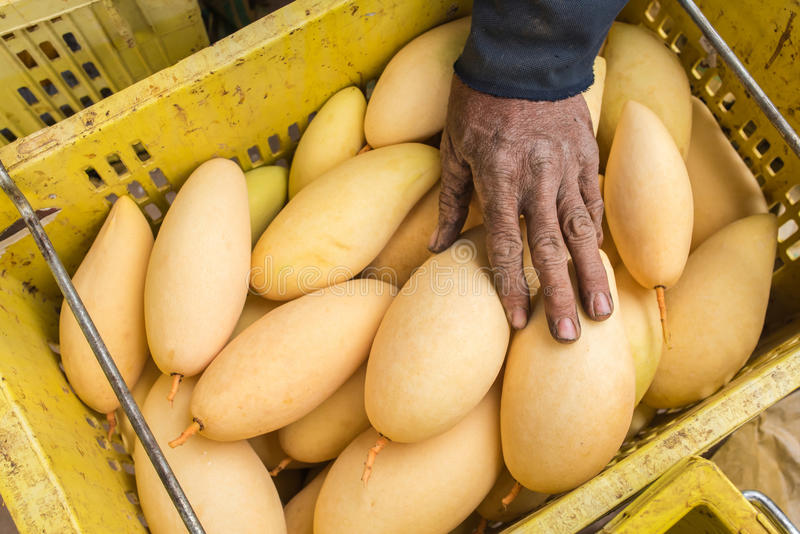 Fruit of Mango cultivars Nam Dok Mai See Thong royalty free stock images