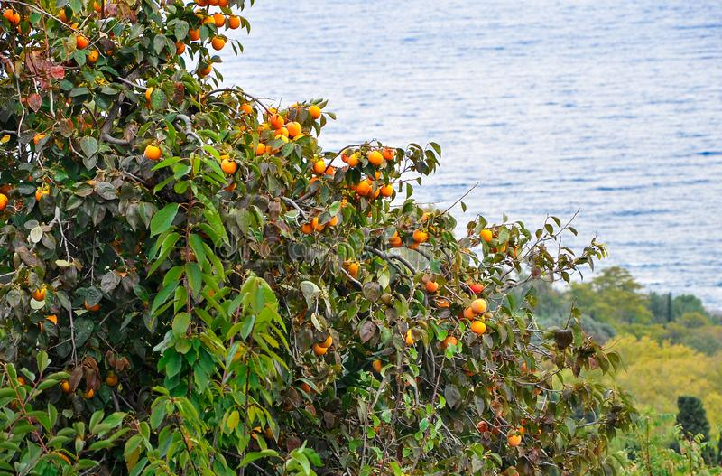 The fruit of the mature orange persimmon grows on a high green tree stock photography