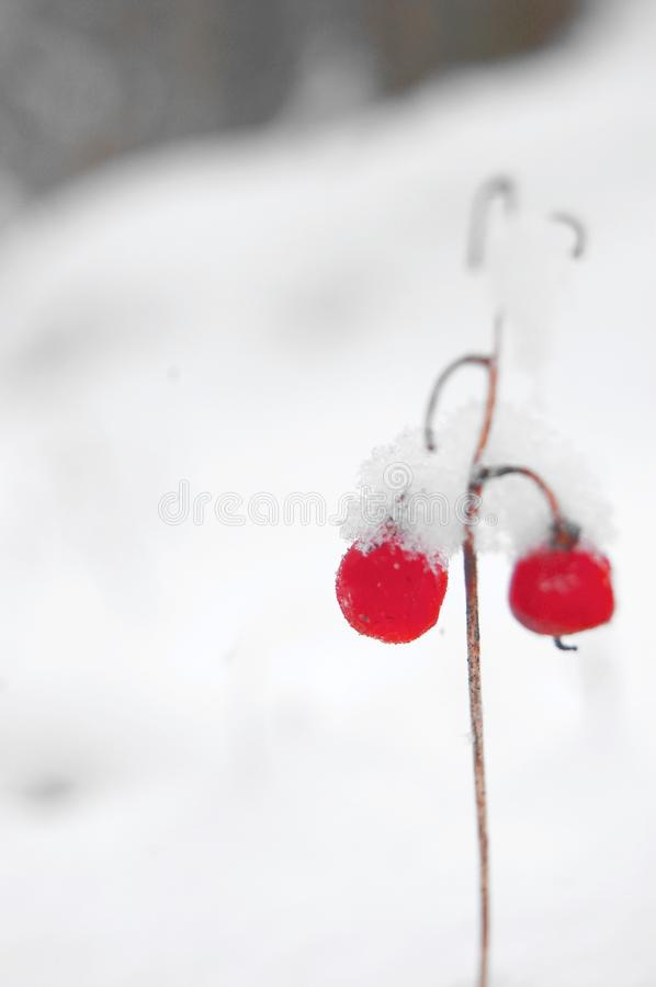 Download The Fruit Of May-lily On The Snow Stock Image - Image: 12810167