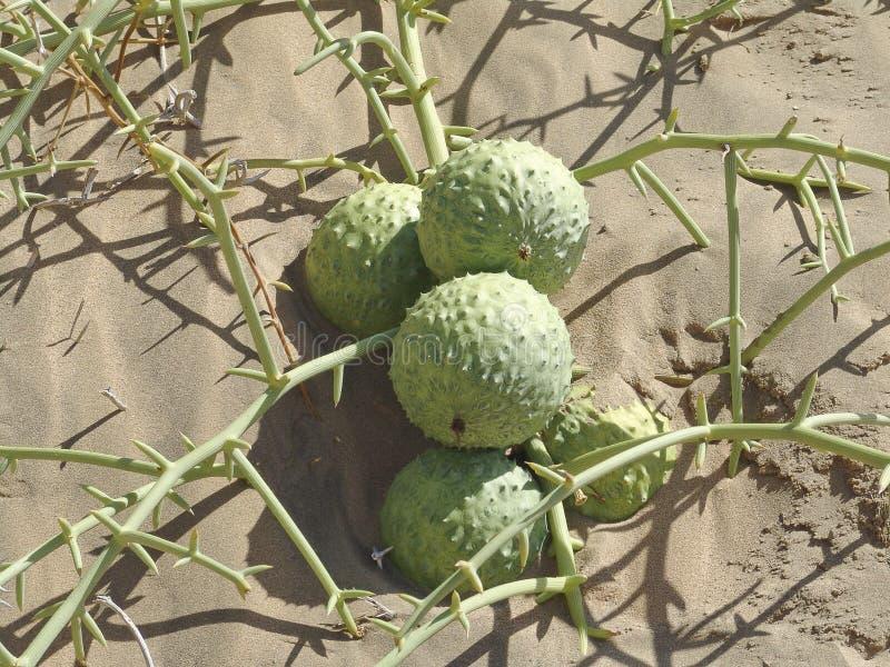 Fruit Nara. Family Cucrbitaceae stock photo