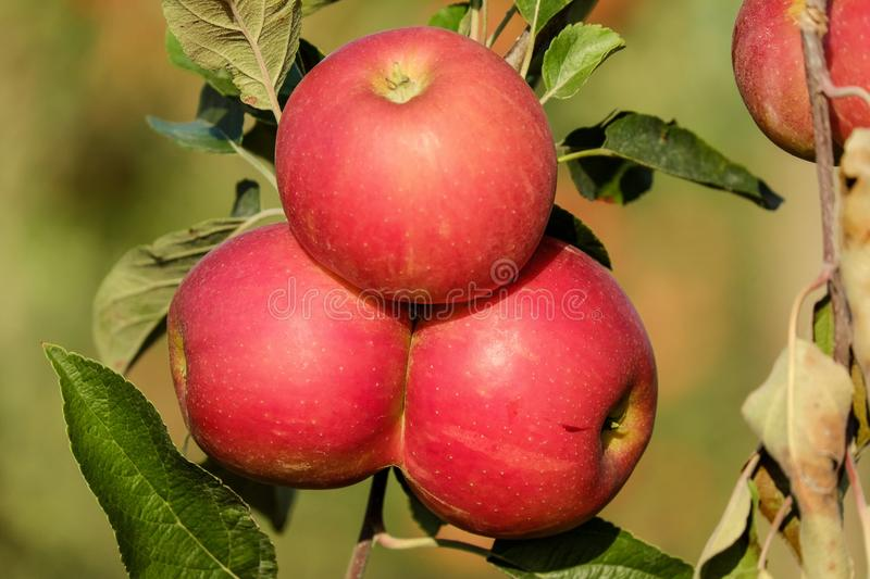 Fruit, nourritures naturelles, Apple, nourriture locale photographie stock libre de droits
