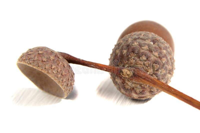 Fruit of oak acorn on white stock photo