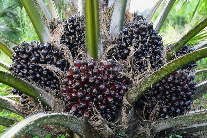 Fruit of the oil palm on tree elaeis guineensis. Fresh fruit of the oil palm on tree elaeis guineensis stock photos