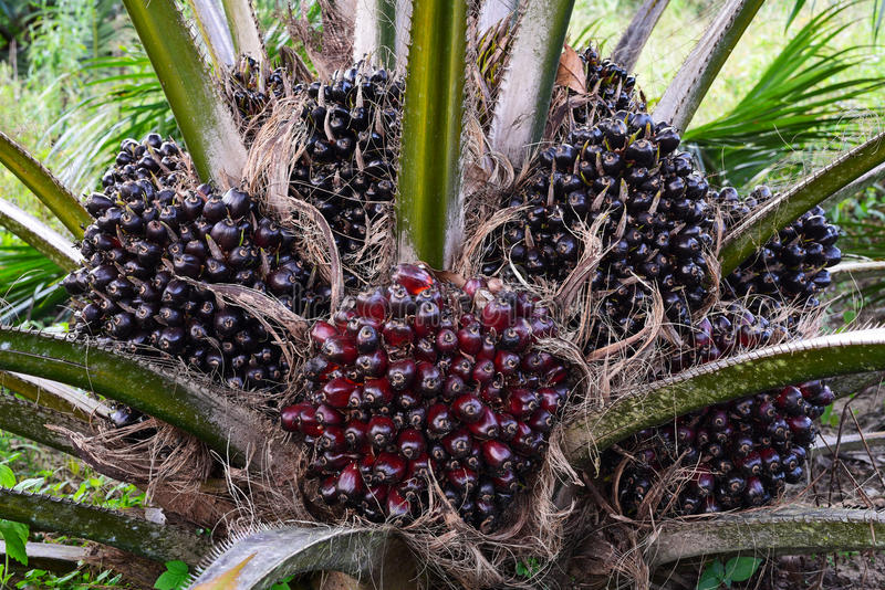 Fruit of the oil palm on tree elaeis guineensis. Fresh fruit of the oil palm on tree elaeis guineensis stock image