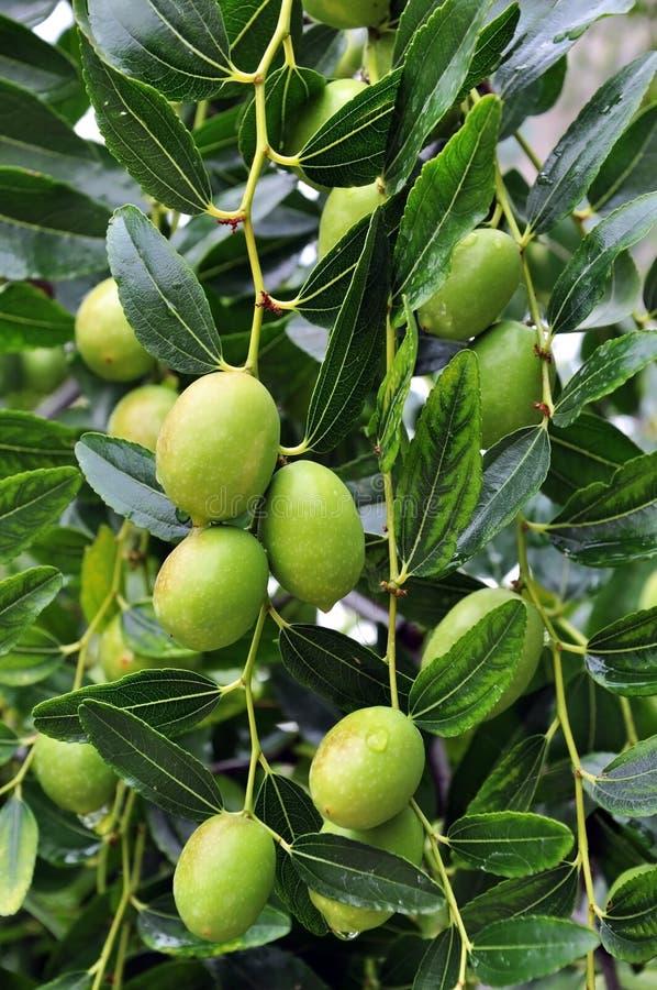 Fruit olive images libres de droits