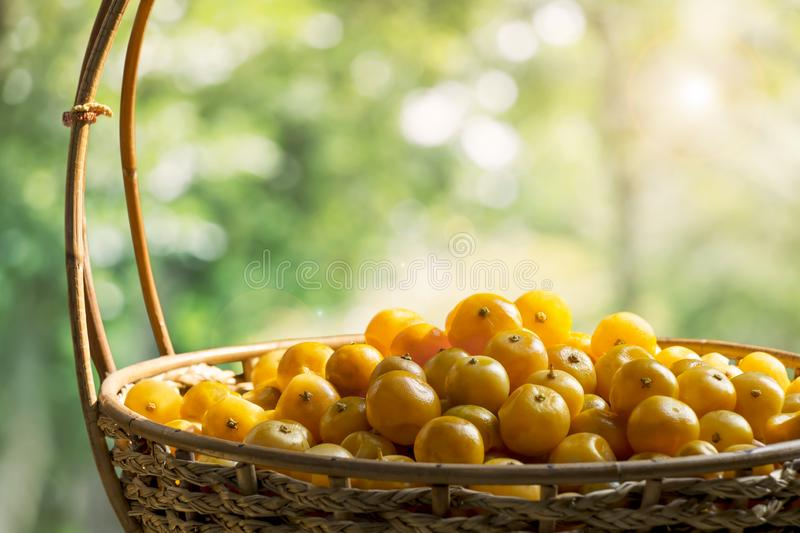 Fruit orange or Citrus Japonica Thunb in basket on tree green nature background. Citrus sun-drying fruit at home, it is processed royalty free stock photo