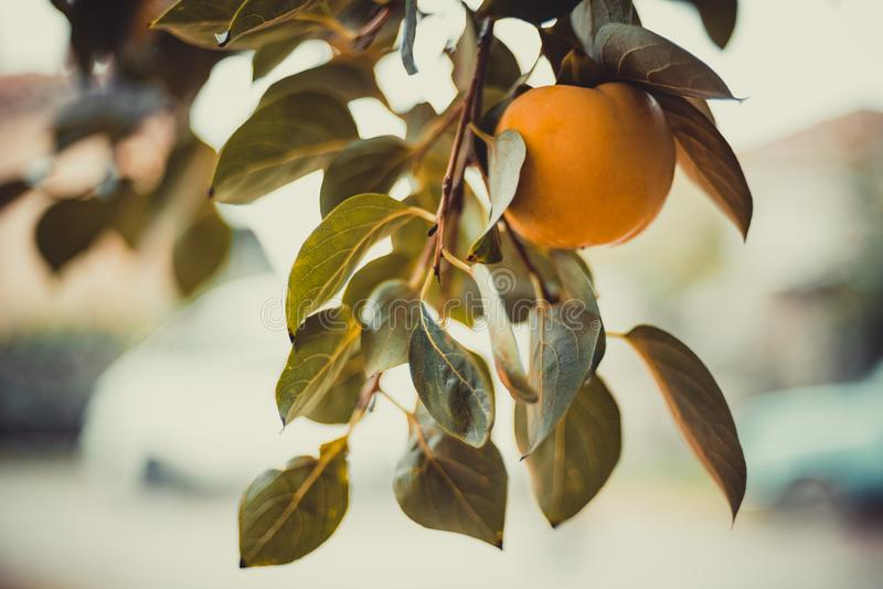 Fruit of orange persimmon on a branch with green leaves royalty free stock photos