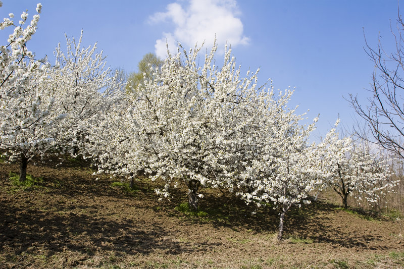 Download Fruit orchard stock photo. Image of blossom, grow, nature - 7153266