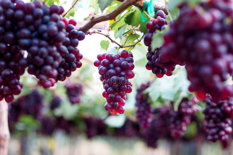 Fruit organique pourpre dans le vignoble groupe de raisin frais m?r au jardin de nature pour faire le vin ou le jus images libres de droits
