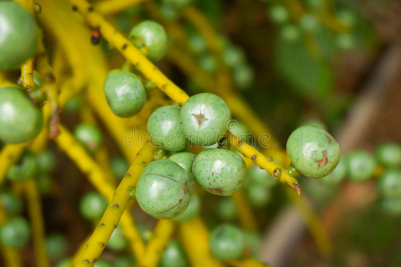 Fruit palm. Green fruit palm on tree palm royalty free stock images