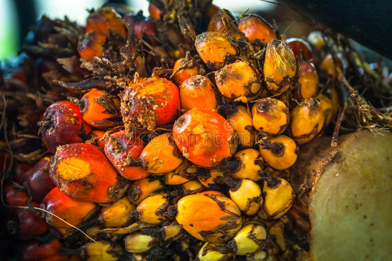 The fruit of the palm oil is orange. Palm oil is used to extract oil for cooking.palm oil in werehouse stock images