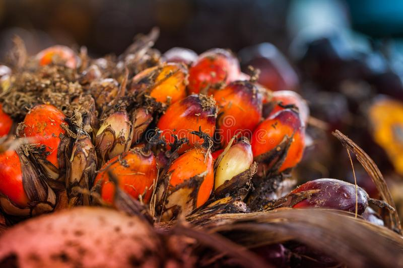 The fruit of the palm oil is orange. Palm oil is used to extract oil for cooking.palm oil in werehouse stock photo