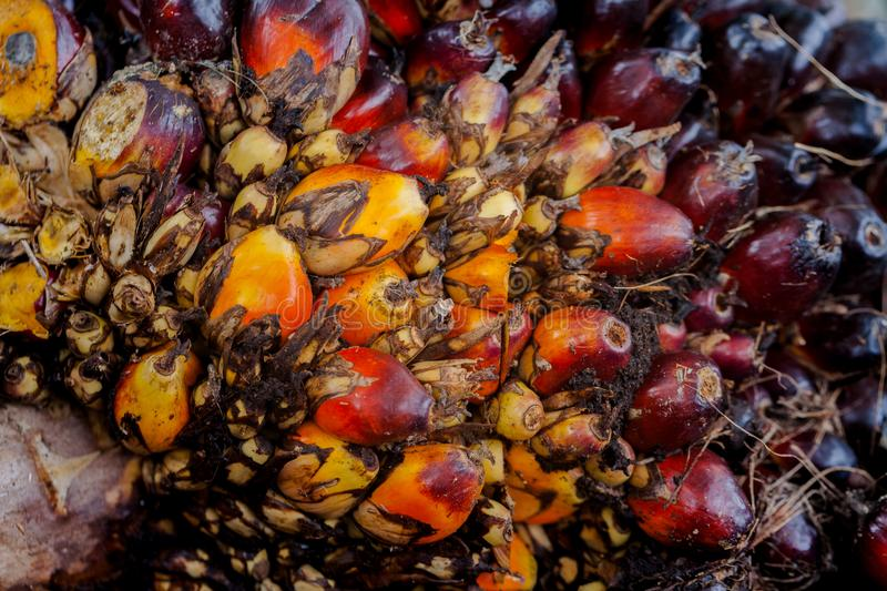 The fruit of the palm oil is orange. Palm oil is used to extract oil for cooking.palm oil in werehouse royalty free stock photography