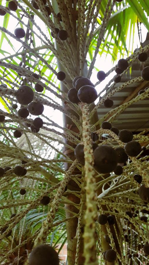 Fruit of a palm tree. This is açai under natural conditions, in a lean but rich in nutrients stock image
