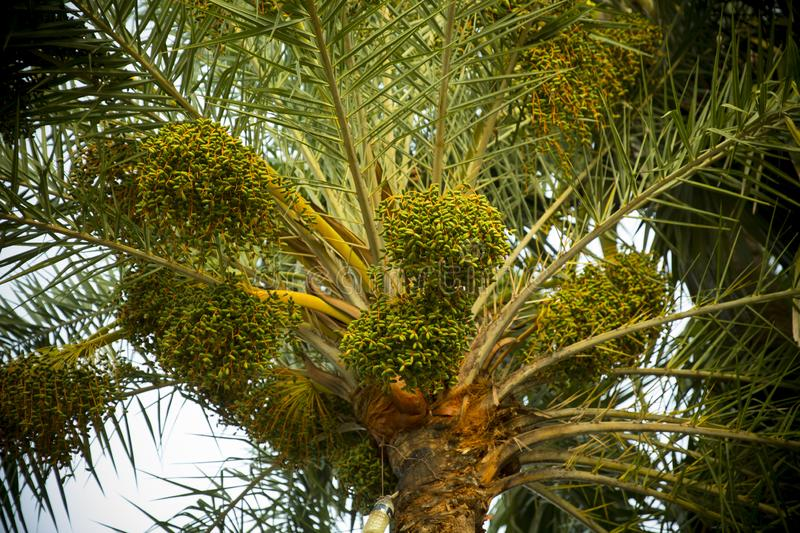 Fruit of palm trees in a forest. Bangladesh stock photos