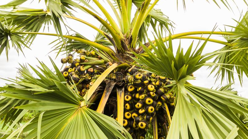 Fruit of palm trees. In field royalty free stock photography