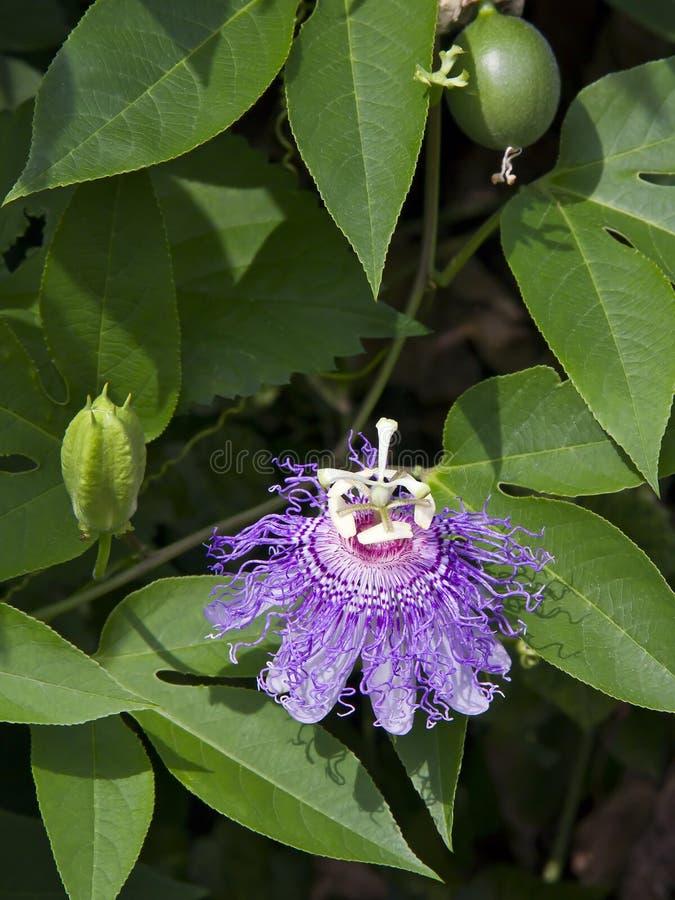 fruit passionflower obraz stock